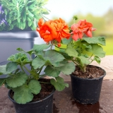 Pelargonium zonale k 12 - mix barev