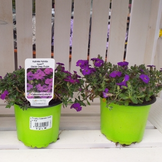 Aubrieta Deep Purple