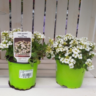 Arabis caucasica little treasure white